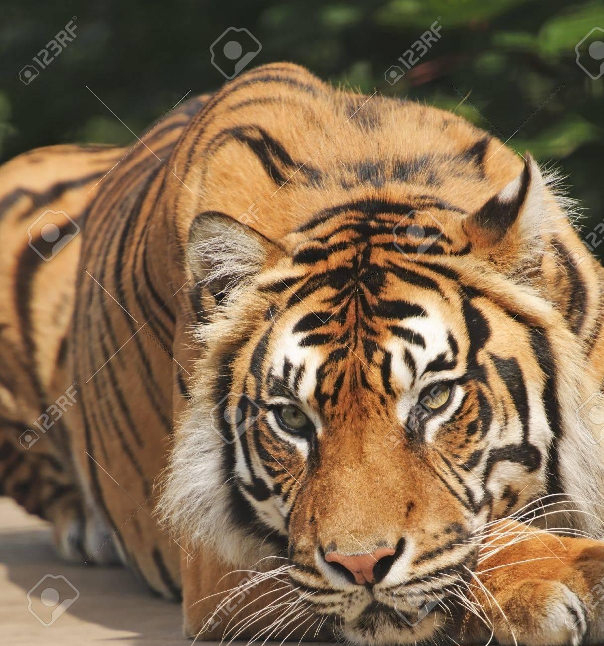 Closeup of Sumatran Tiger (Panthera tigris sumatrae) Stock Photo - 7527759