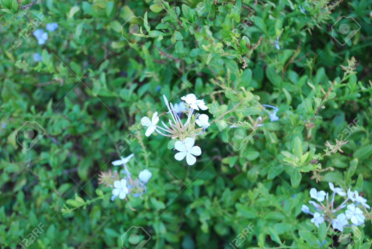 White Flower In Green Thorn Bush Stock Photo Picture And Royalty