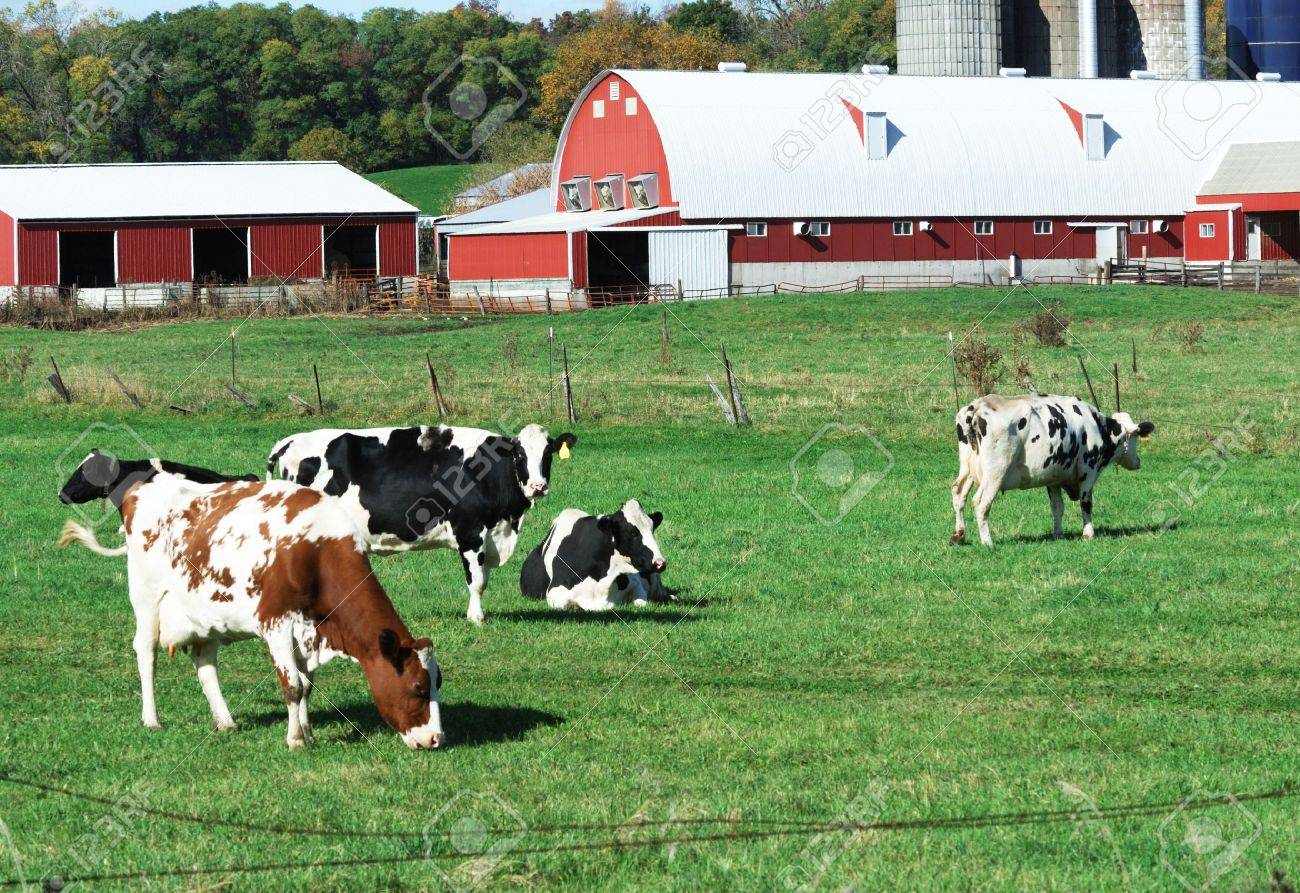 Cow on green pasture with red barn with grain silo royalty free stock - Red Barn Doors Dairy Cattle By The Red Sheds Stock Photo