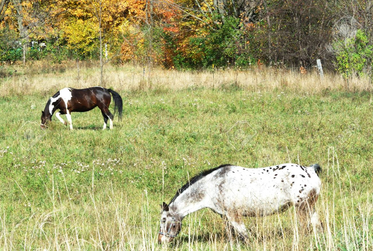 Pinto and Friend Grazing in the Fall Stock Photo - 3887133
