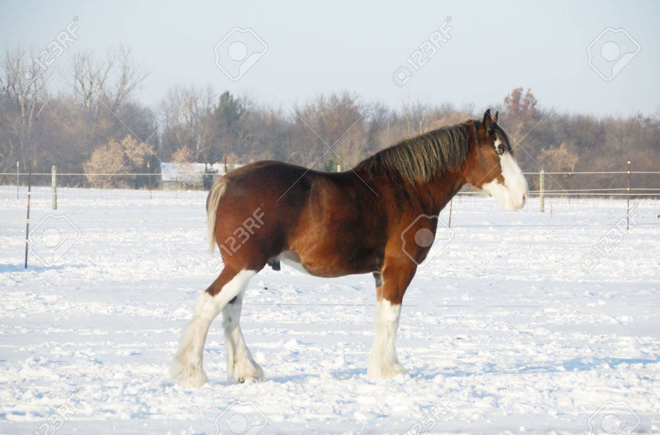 Clydesdale Horse In The Snow Stock Photo Picture And Royalty Free Image Image 4056986