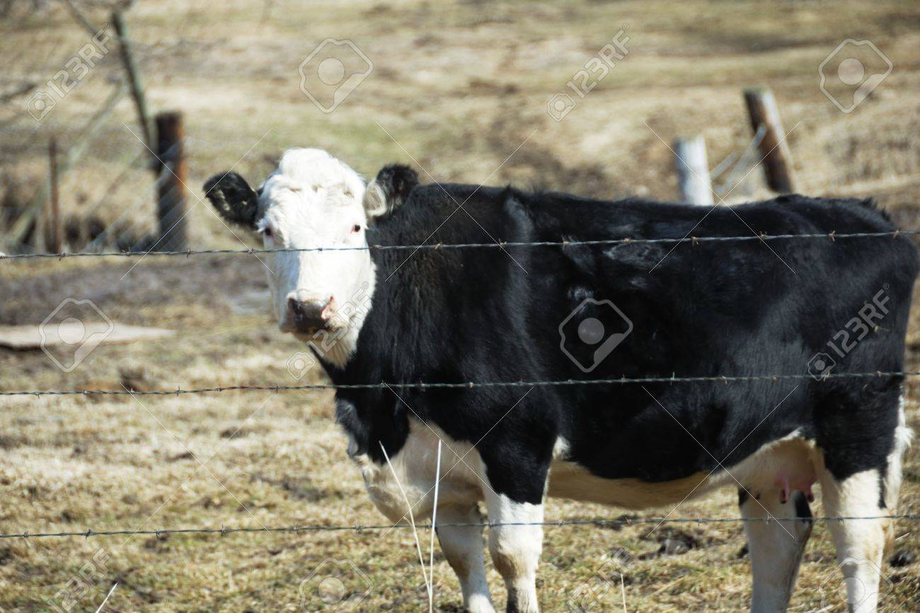 Black Cow with White Face Stock Photo - 4718113