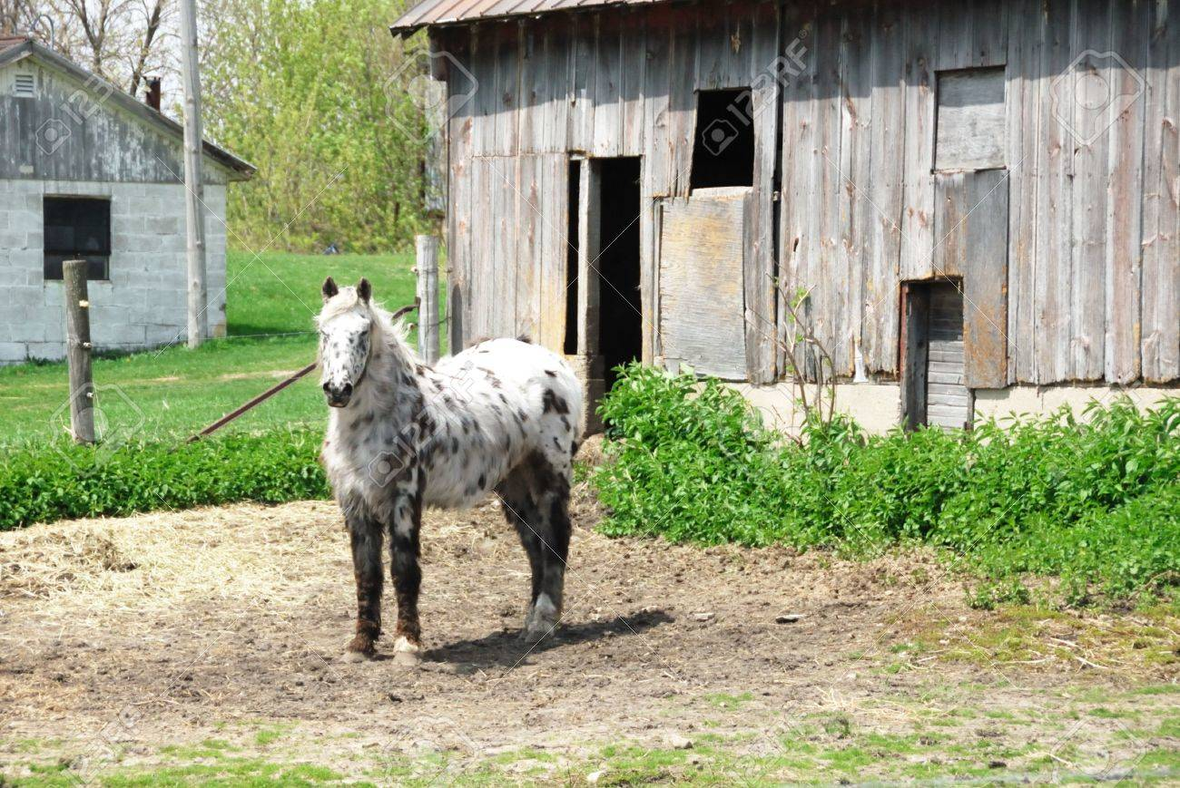 Spotted Pony by Weathered Shed (horizontal) Stock Photo - 5256538