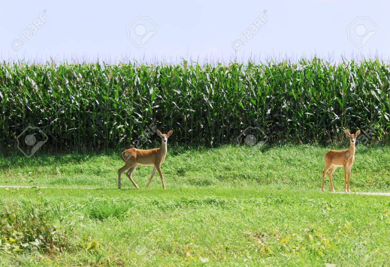 Two Fawns by Cornfield Stock Photo - 6695417