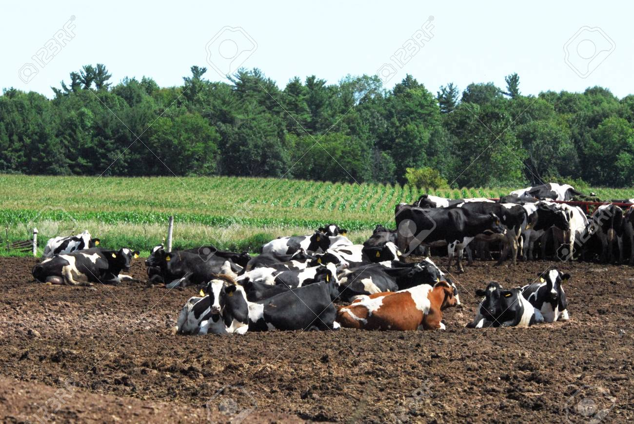 Dairy Cattle Resting Stock Photo - 6743101