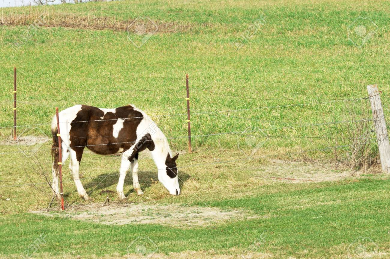 Pinto Grazing by Fence Stock Photo - 7158158