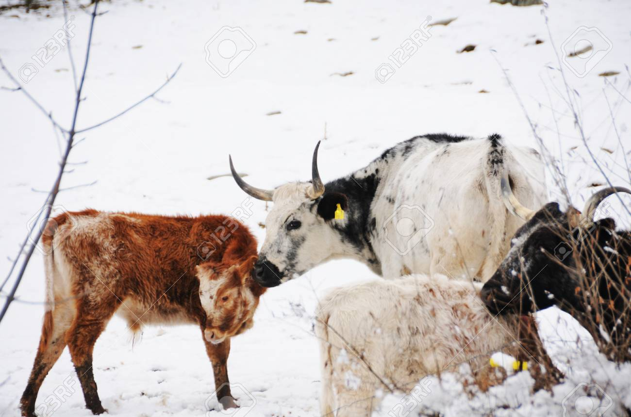 Cows in Snow Stock Photo - 17100825