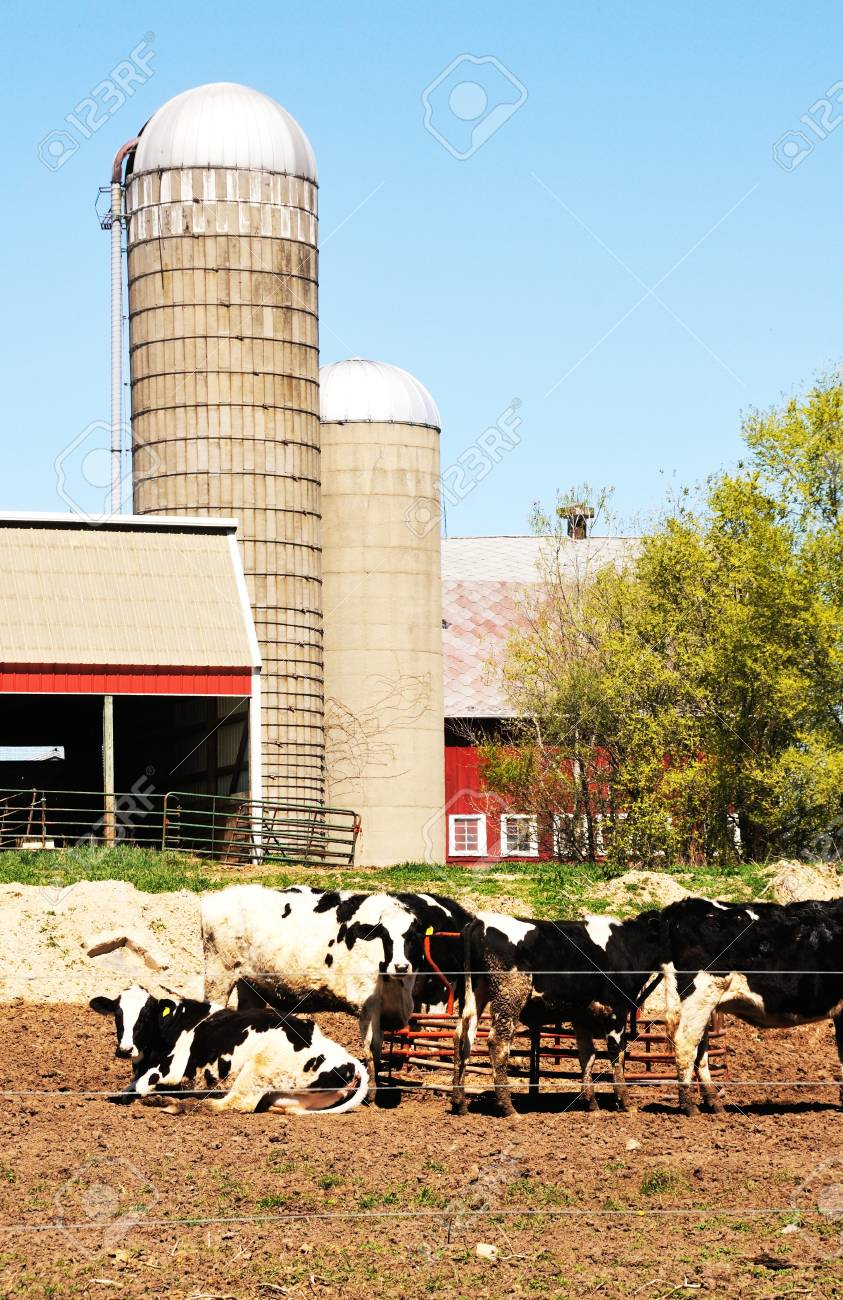 Cows and Silos Stock Photo - 18168561