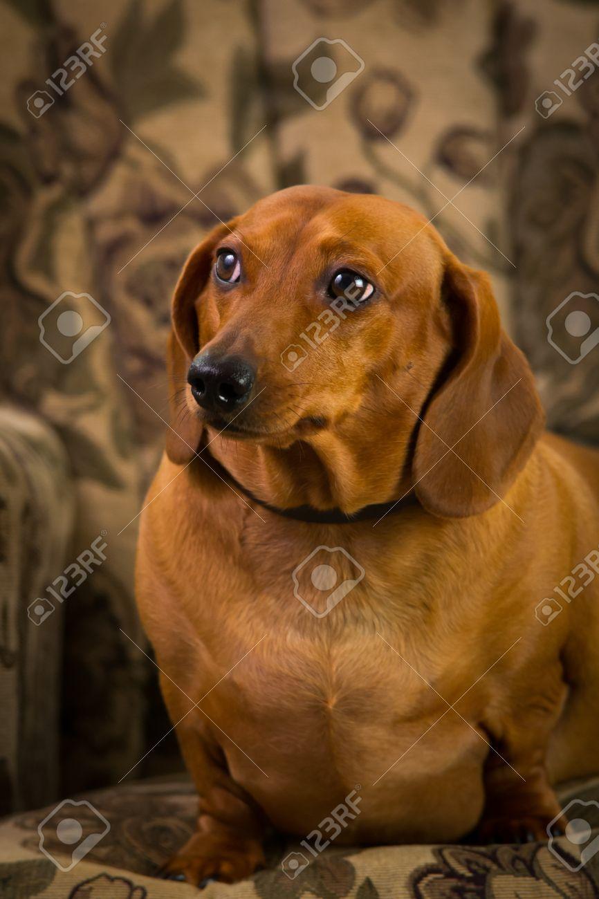 Dachshund Puppies Getting Studio Shots Wiener Dog Stock Photo