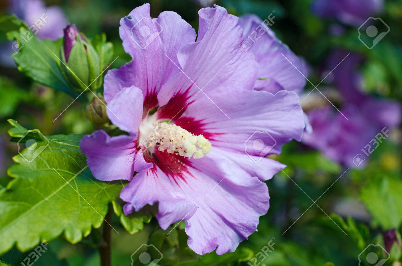 Blue Hibiscus Flowers On The Bush Stock Photo Picture And Royalty