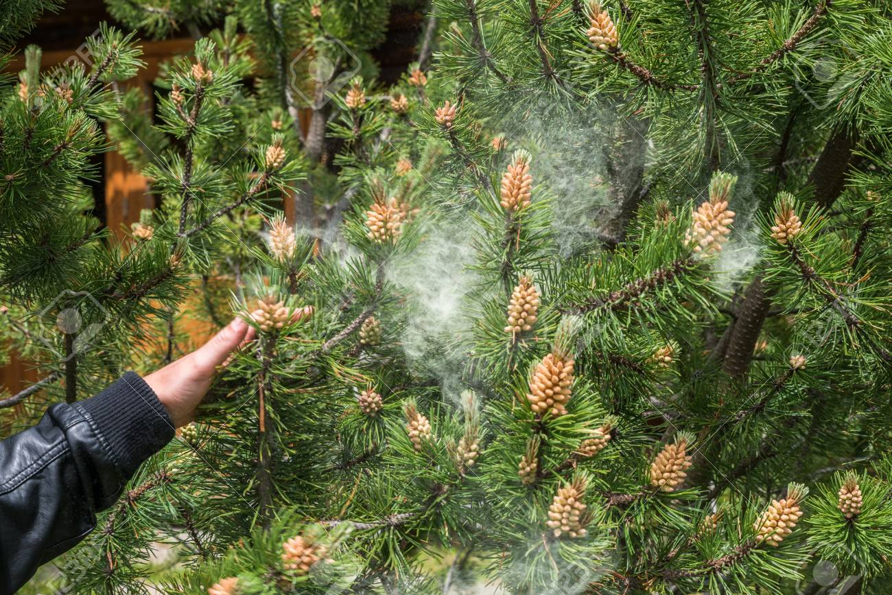 Cloud of pollen from a pine tree