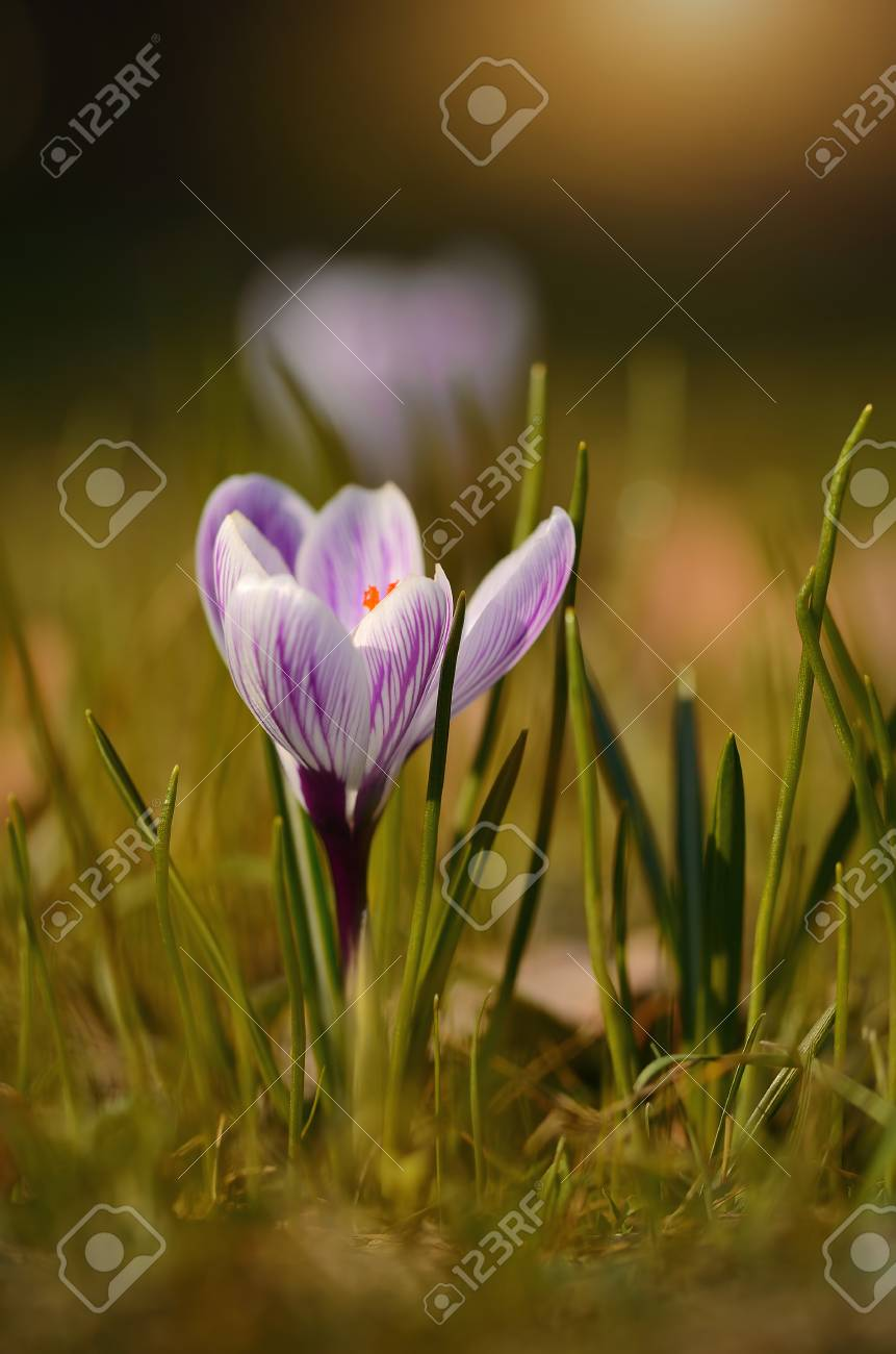 Crocus Flower Bloom In Sunset Early Spring Stock Photo Picture And