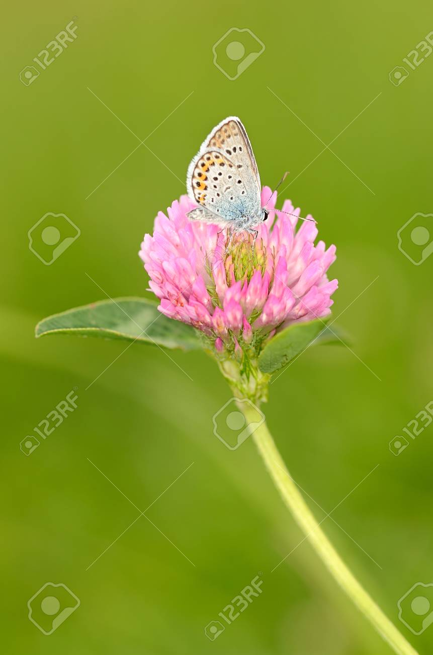 Butterfly Is Resting On The Purple Clover Flower Stock Photo