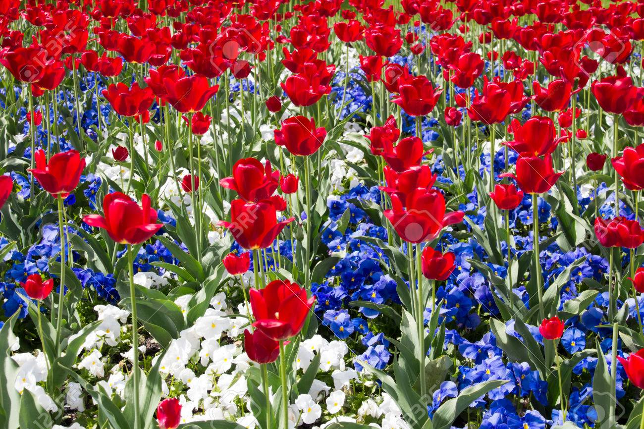 Red, White And Blue Flowers Stock Photo, Picture And Royalty Free ...