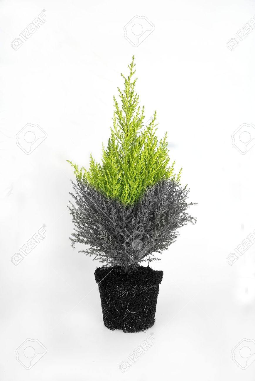 Half Dead Half Alive Tree Stock Photo Picture And Royalty Free
