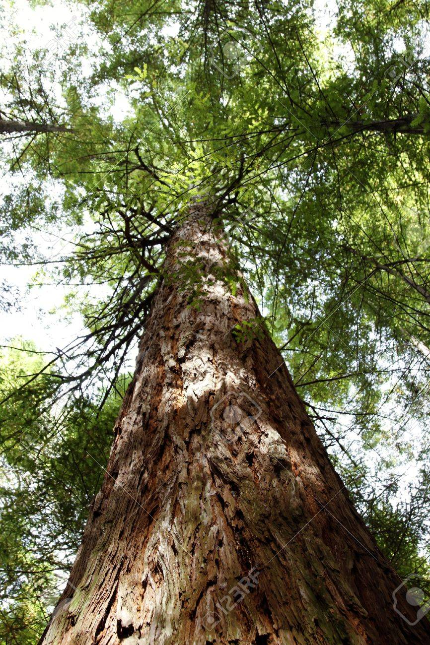 Looking up trunk of tall Redwood tree Stock Photo - 12522987