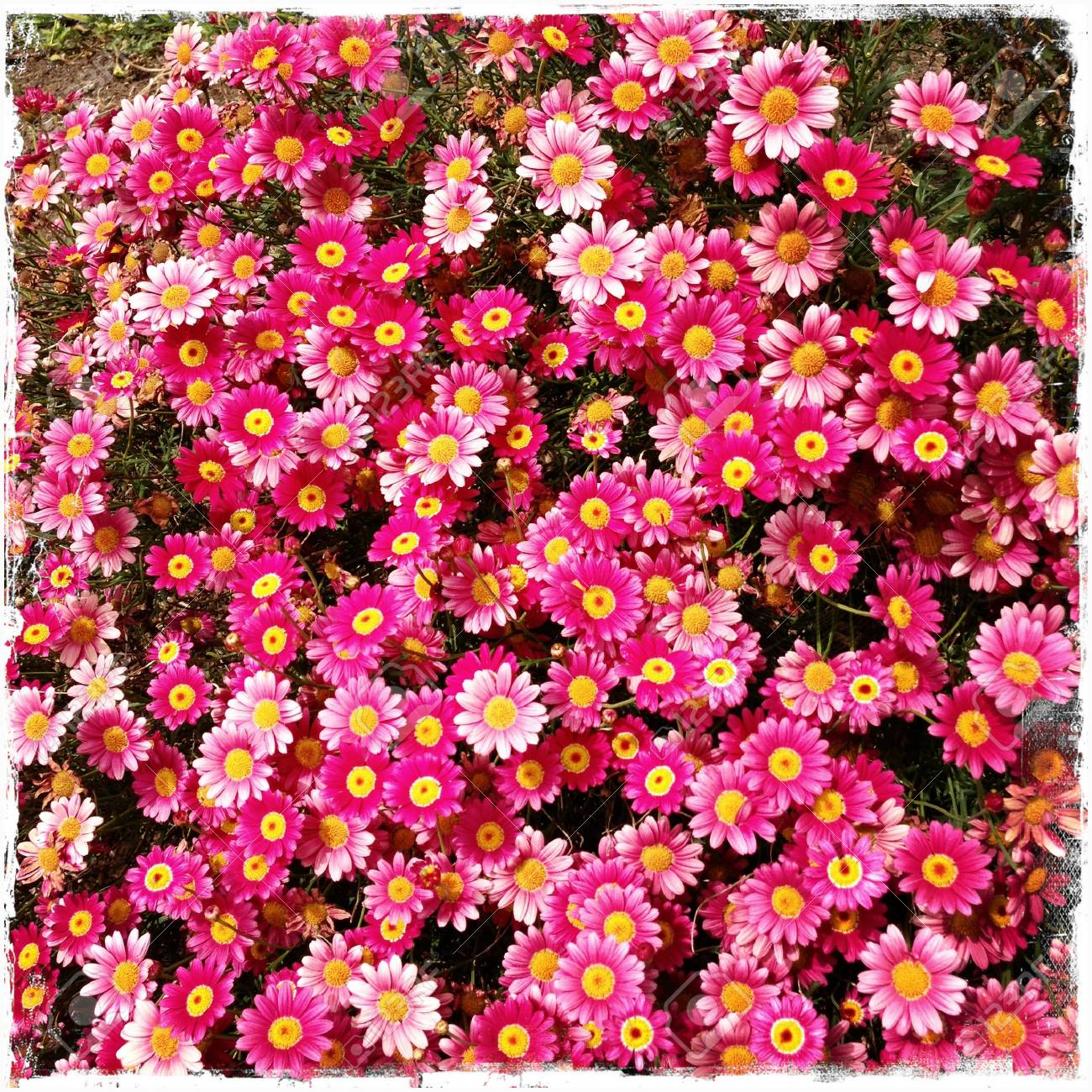 Closeup Of Pink Flowers In Garden Stock Photo Picture And Royalty