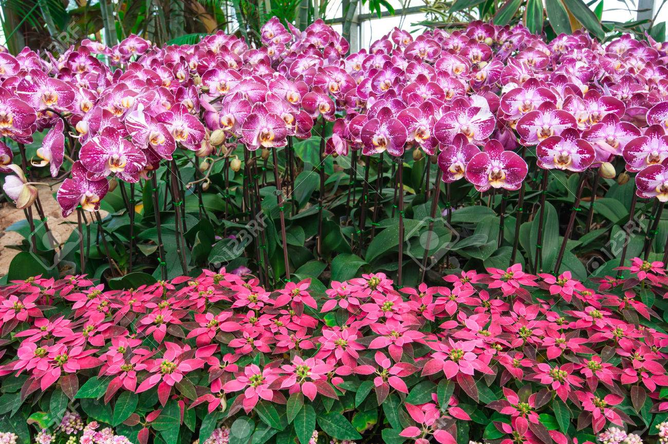 Pattern Of Pink And Violet Orchid Plant With Pink Poinsettia Stock Photo Picture And Royalty Free Image Image 30380344