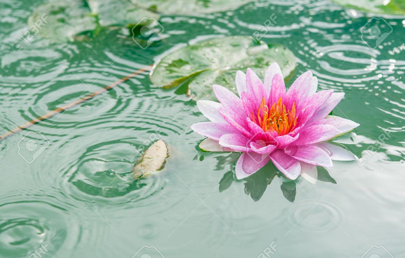 A beautiful pink waterlily or lotus flower in pond with rain stock a beautiful pink waterlily or lotus flower in pond with rain drop stock photo 25573424 izmirmasajfo