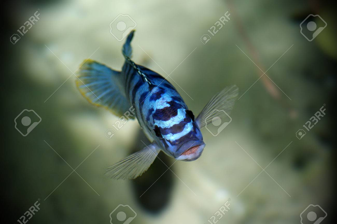 Blue fish in water looking up toward the sky. Stock Photo - 34726317