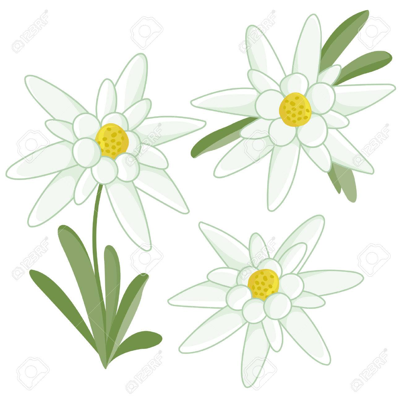 Edelweiss flowers - 44123379