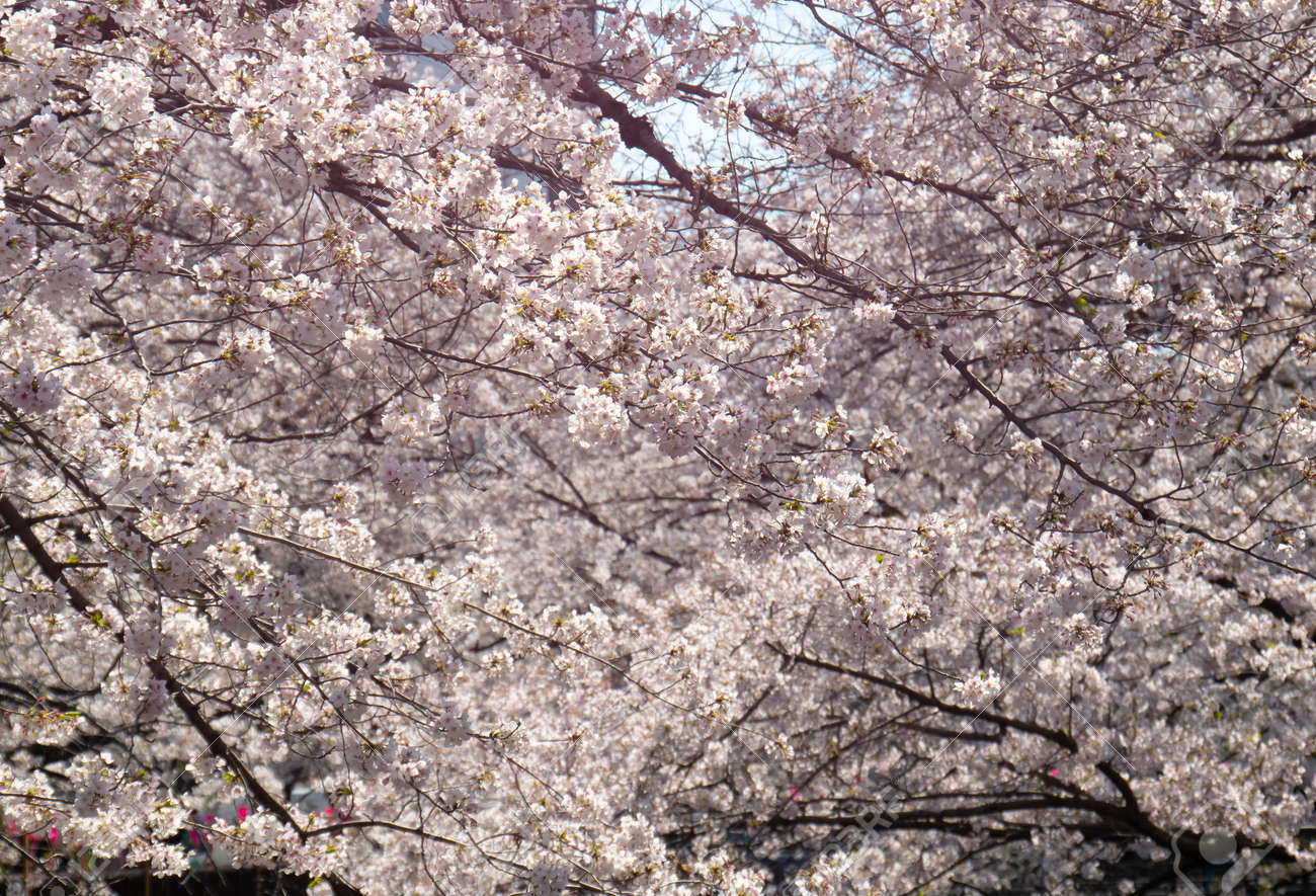 Cherry blossom branches in full bloom. - 164995514