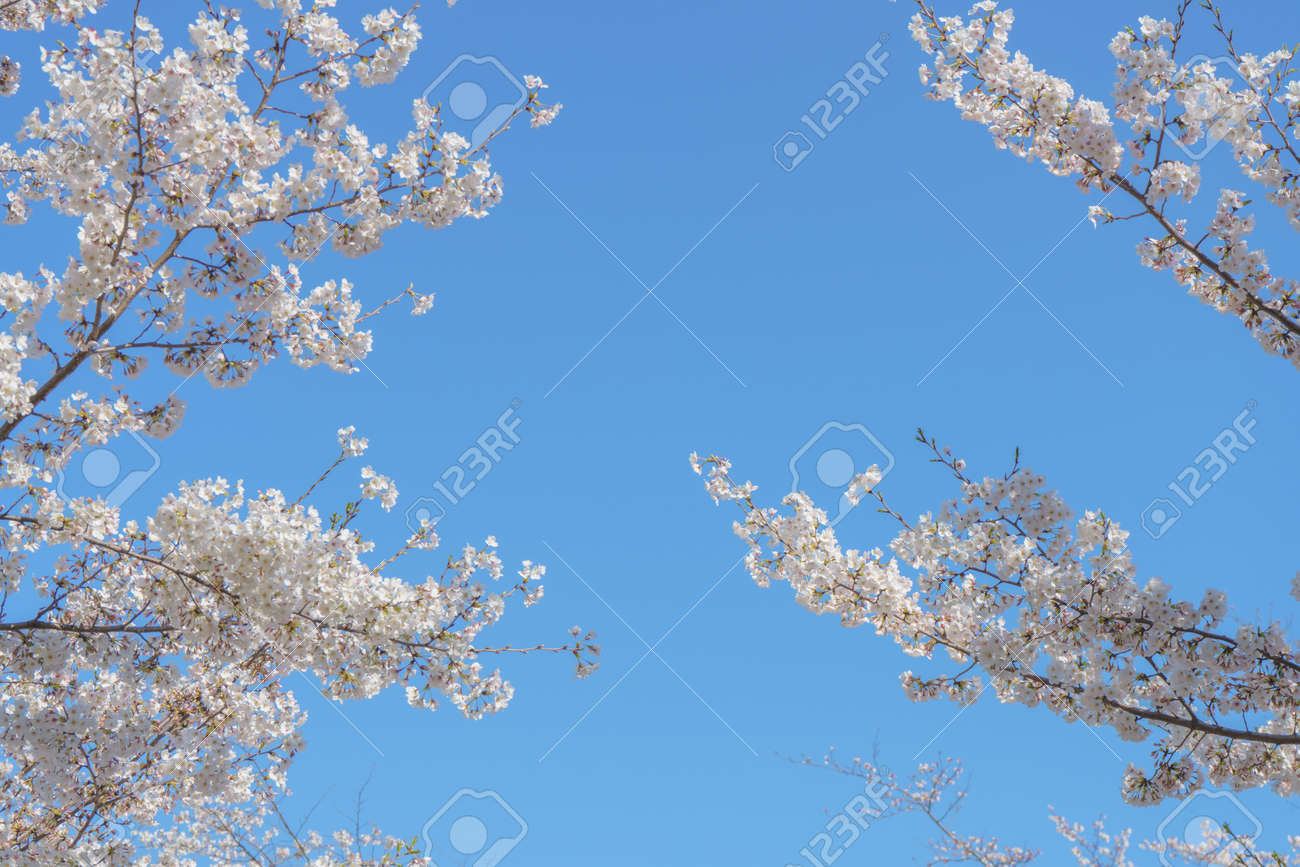 Spring background of blossoming sakura cherry blossom frame against blue sky with copy space for text. - 171352888