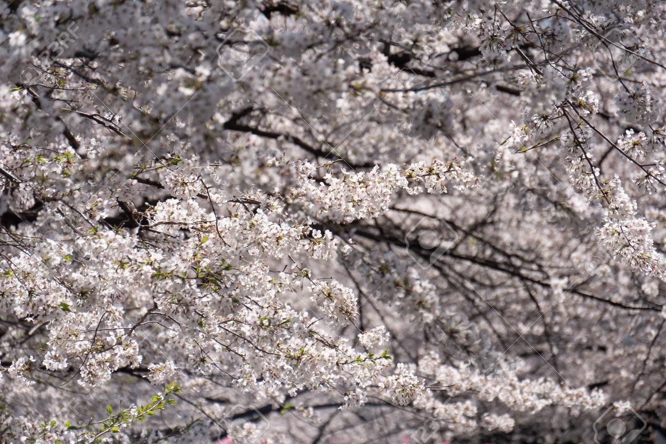 Sakura cherry blossom blooming in spring time. - 170462055