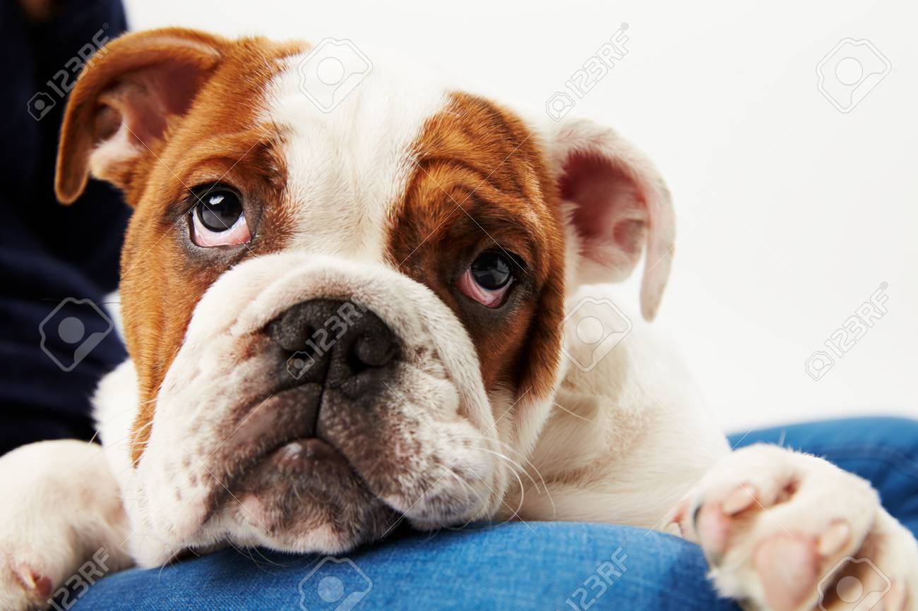 Portrait de chiot bouledogue britannique avec propriétaire Banque d'images - 95959228