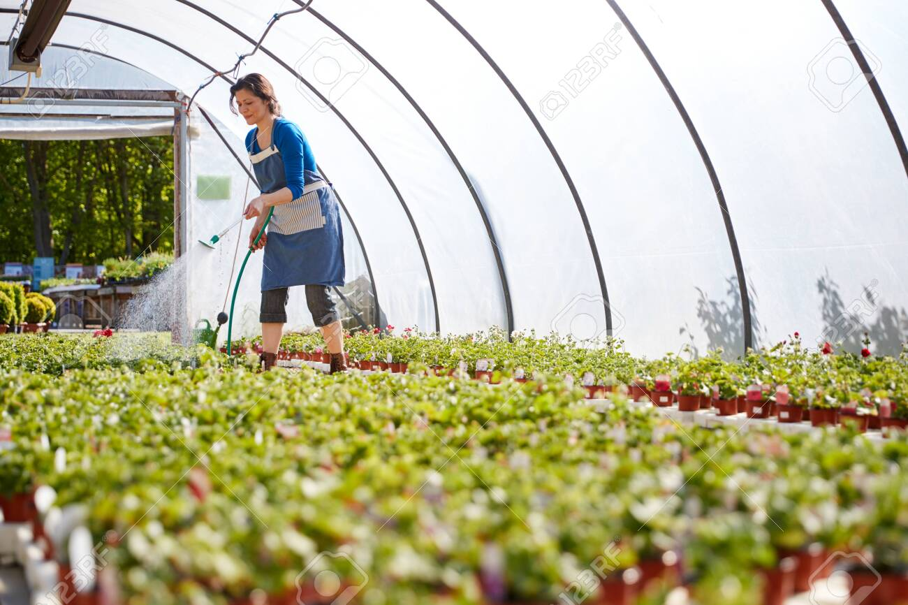 Mature Woman Working In Garden Center Watering Plants In Greenhouse - 133300681