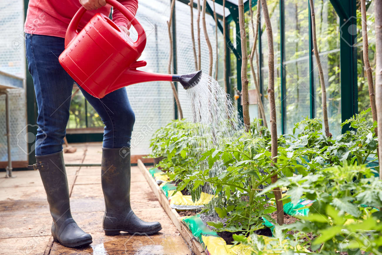 Close Up Of Man Watering Tomato Plants In Greenhouse At Home - 172326774