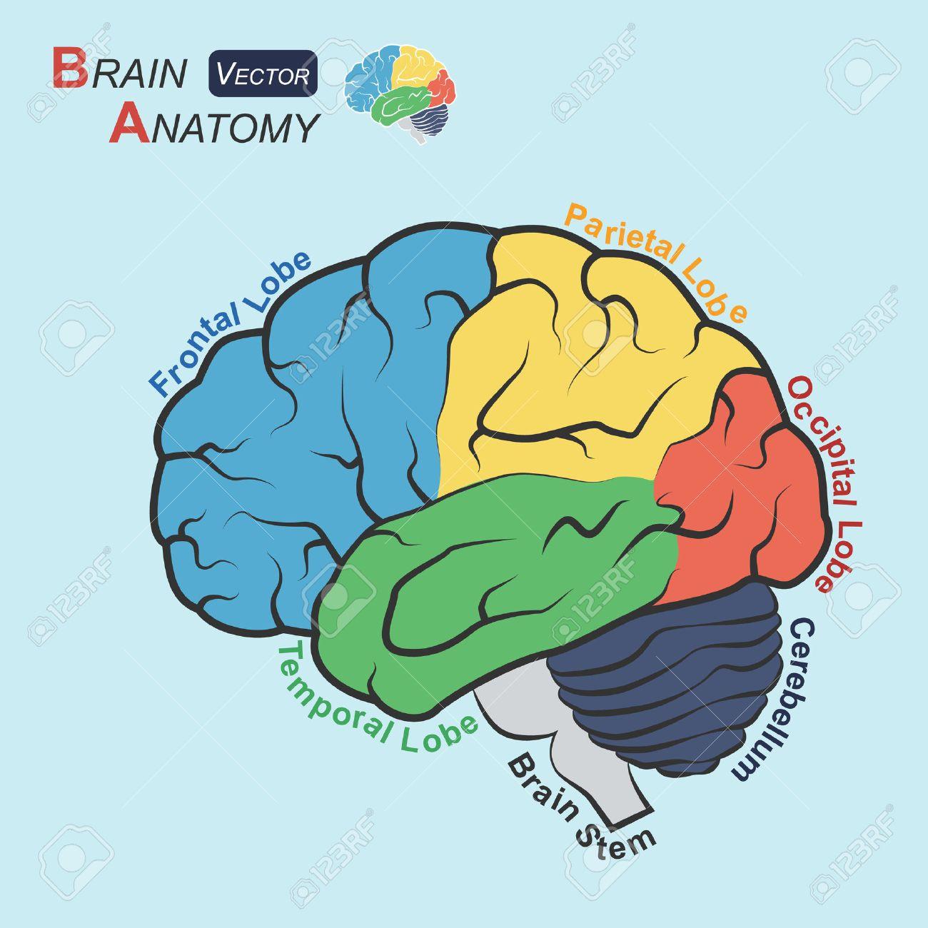 Brain Anatomy ( Flat Design ) ( Frontal Lobe , Temporal Lobe ...