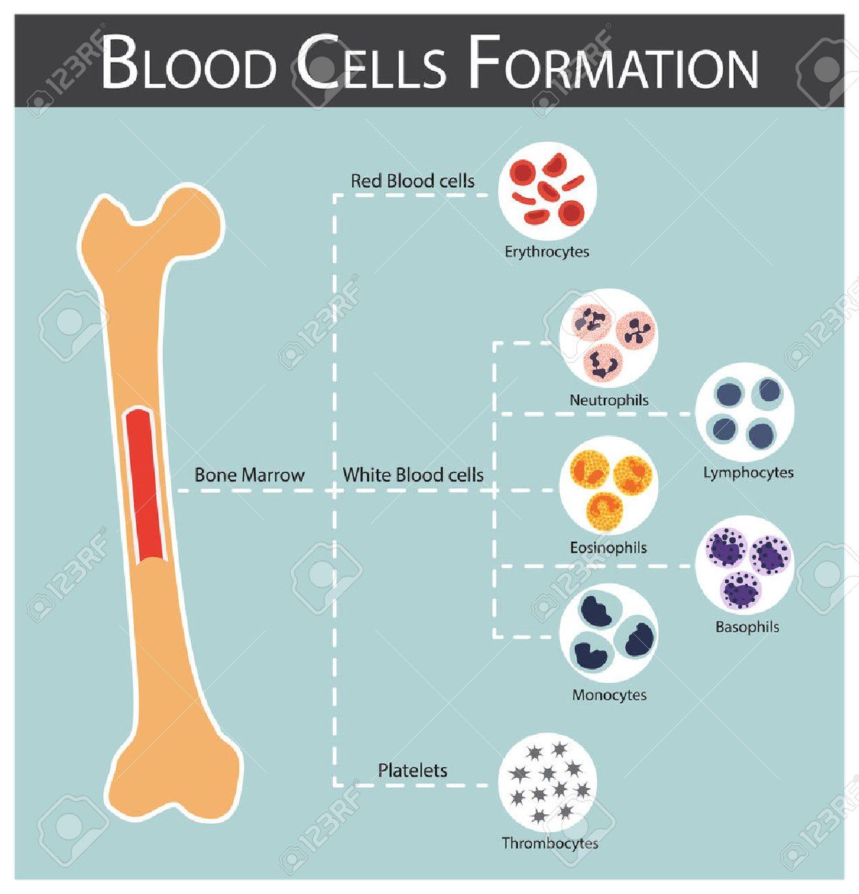 Blood cells Formation ( bone marrow produce blood cells series : erythrocytes , lymphocytes , neutrophils , monocytes , eosinophils , basophils , thrombocytes ) Haematology concept and infographics - 52184113