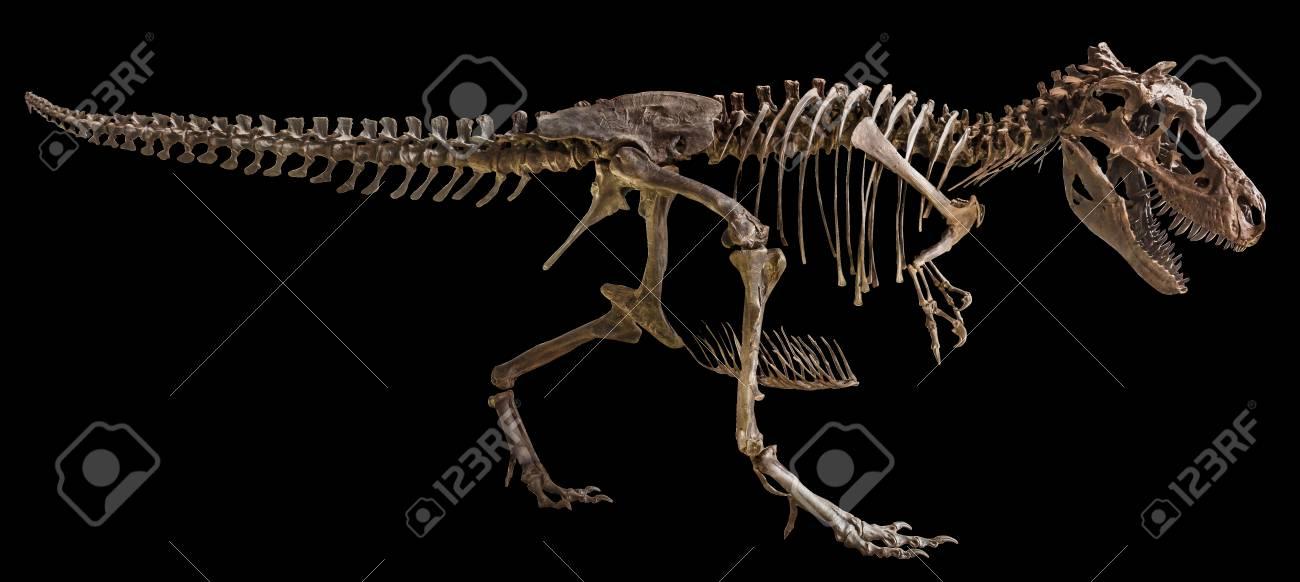 Tyrannosaurus Rex skeleton on isolated background . - 87974425