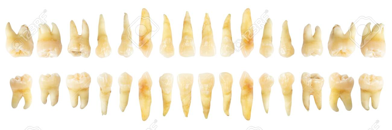 Tooth diagram ( photography ). Real teeth chart . front horizontal view . isolated white background . - 121193906