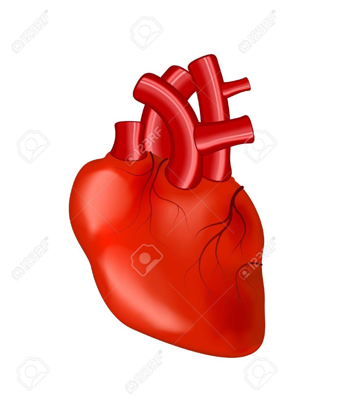 Human Heart Vector Image Human Heart Human Heart