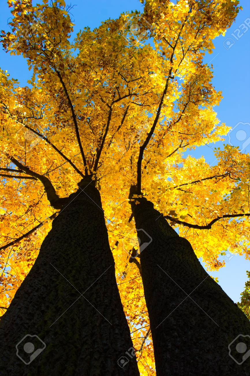 Canopy of an autumnal colored  Maple tree Stock Photo - 22915794