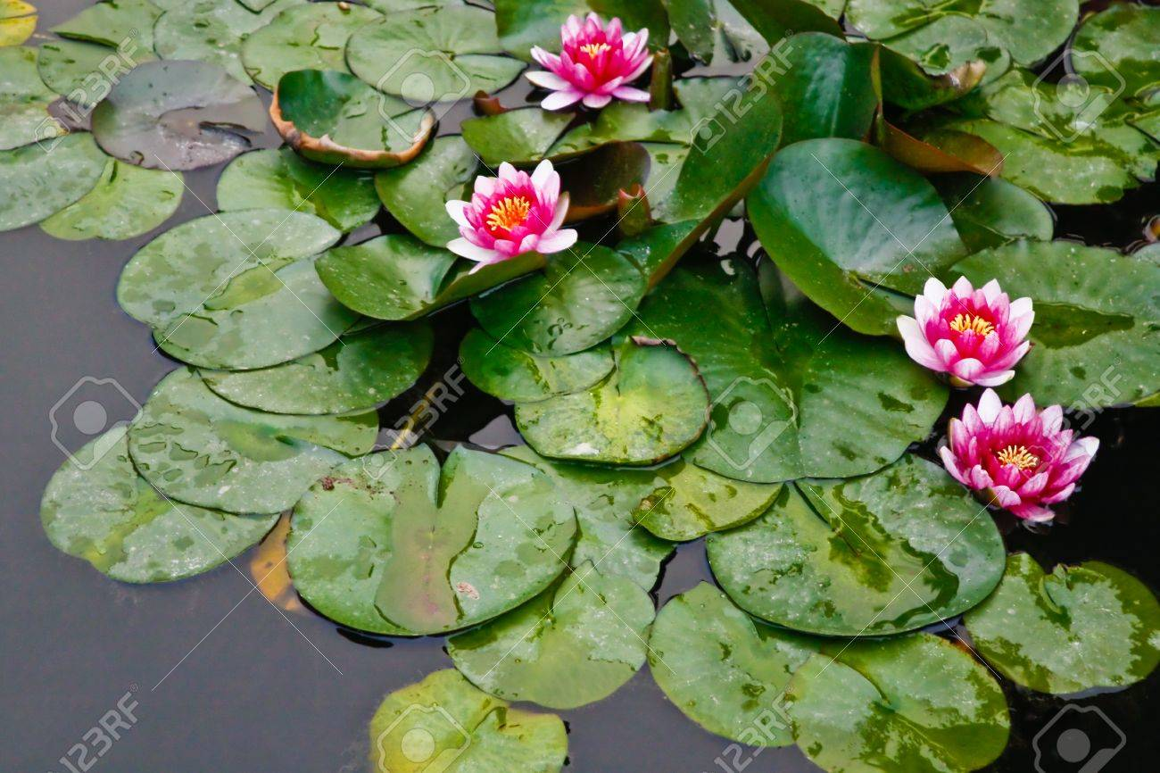 Pink Lotus Flowers In Pond Stock Photo Picture And Royalty Free