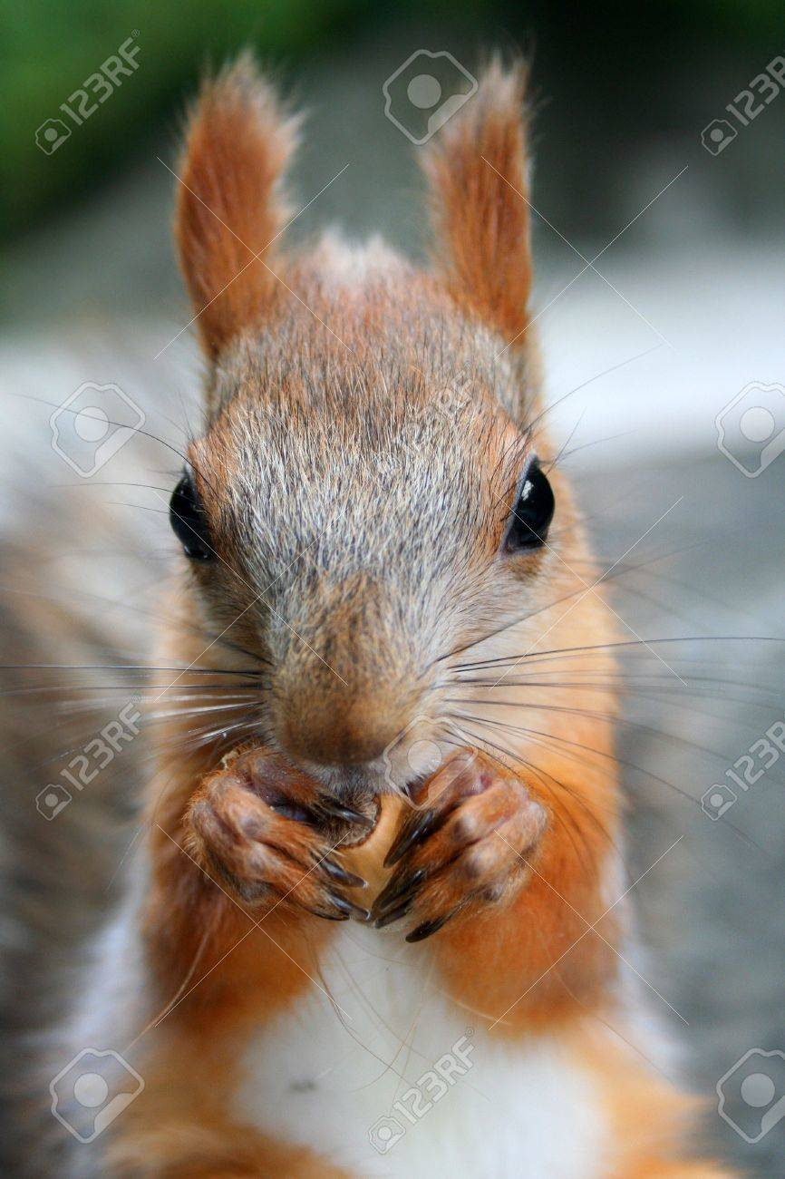 squirrel that nibble nuts, nutcracker Stock Photo - 668163