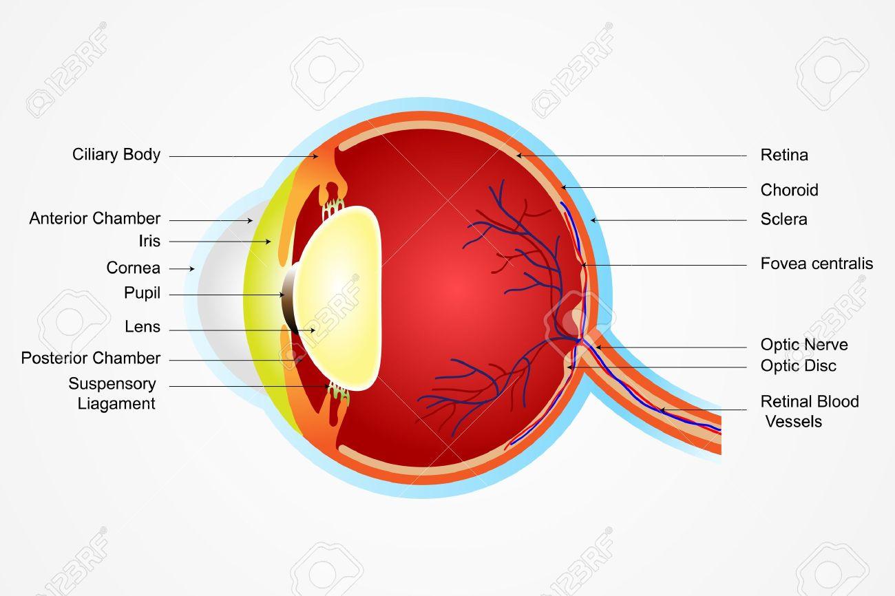 Ilustración Vectorial De Diagrama De La Anatomía Del Ojo Con La ...
