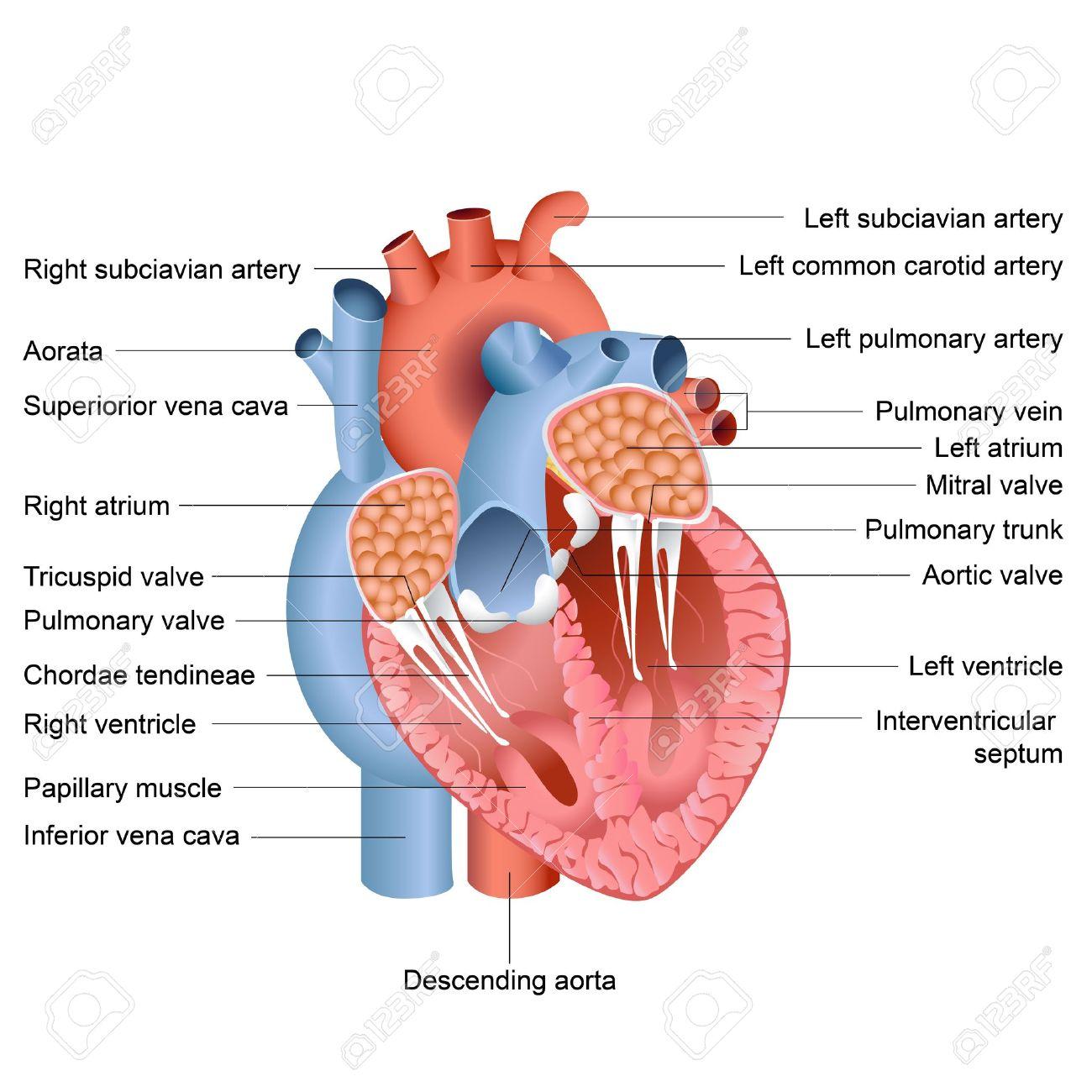 Ilustración Vectorial De Dibujo De La Anatomía Del Corazón ...