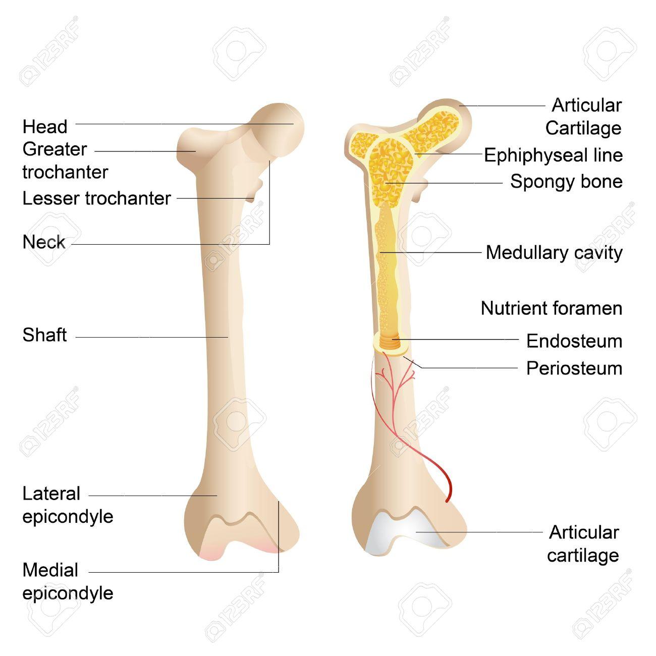 Vector Illustration Of Diagram Of Human Bone Anatomy Royalty Free ...