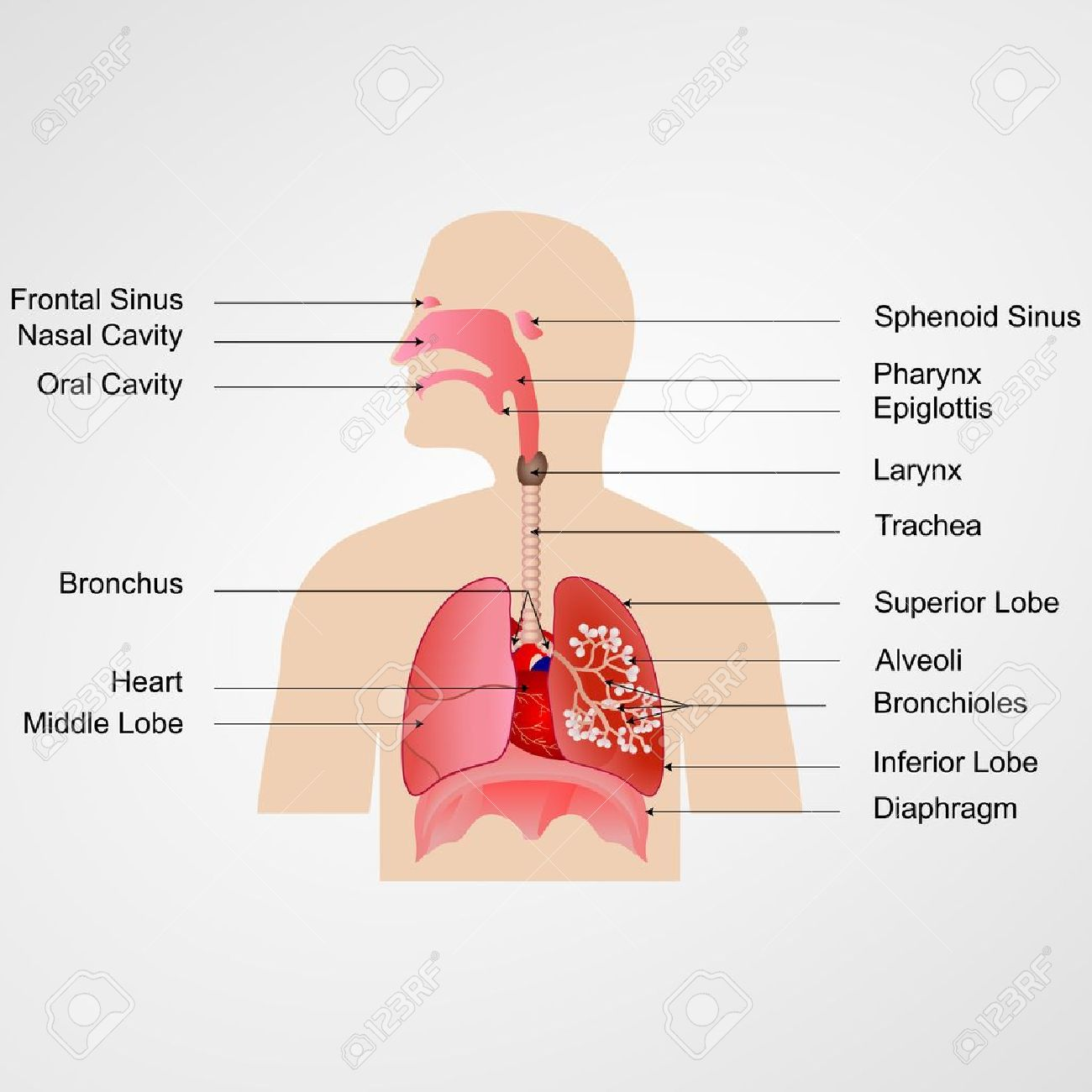 vector illustration of respiratory system with label royalty free