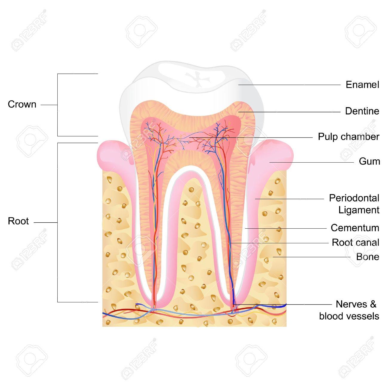 Ilustración Vectorial De La Anatomía Del Diente Humano Con La ...