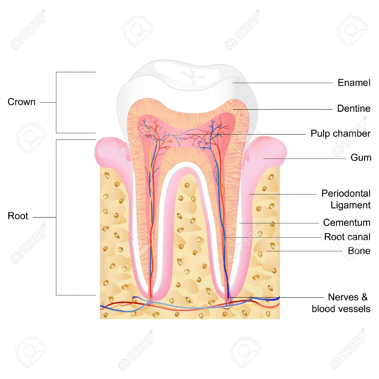 vector illustration of human tooth anatomy with label - 13128676
