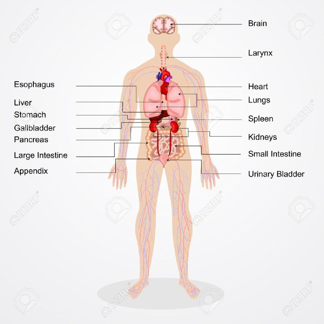 図 人体 解剖