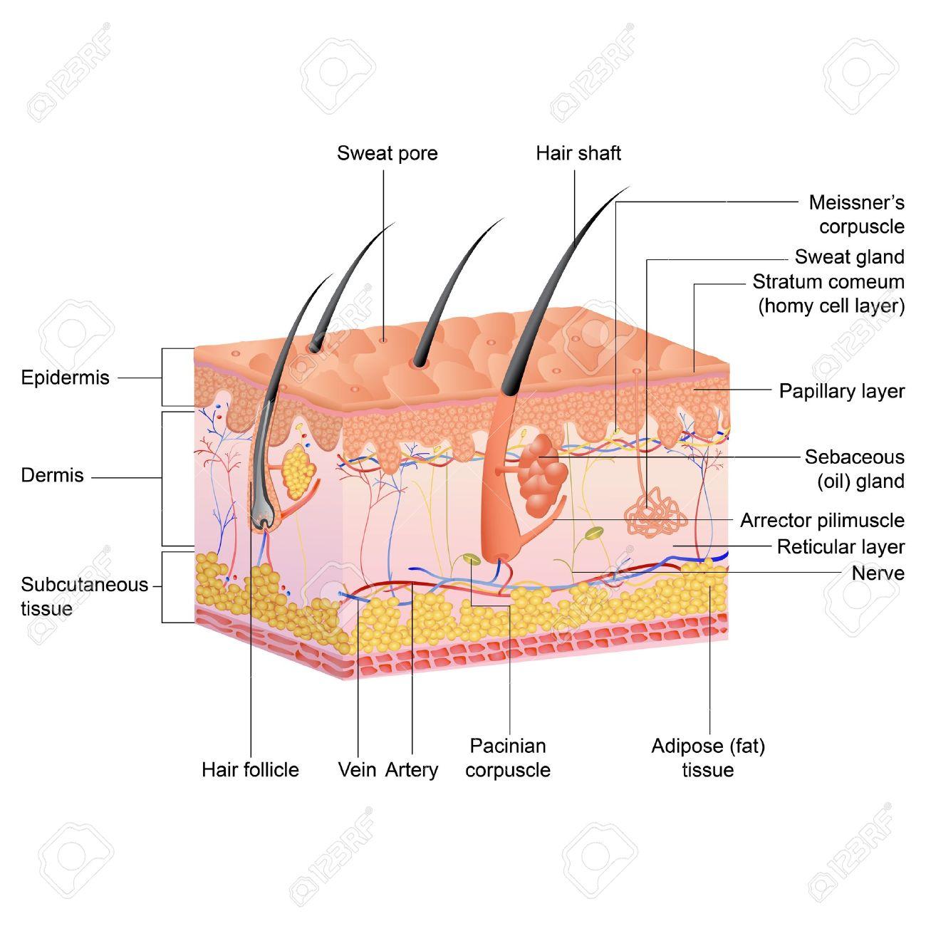 Ilustración Vectorial De Dibujo De La Anatomía Del Pelo ...