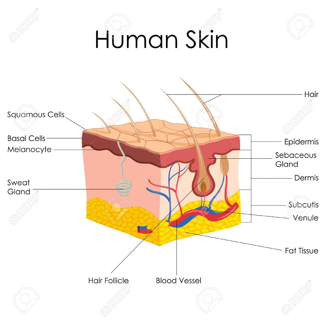 Ilustración Vectorial De Diagrama De La Anatomía De La Piel Humana ...