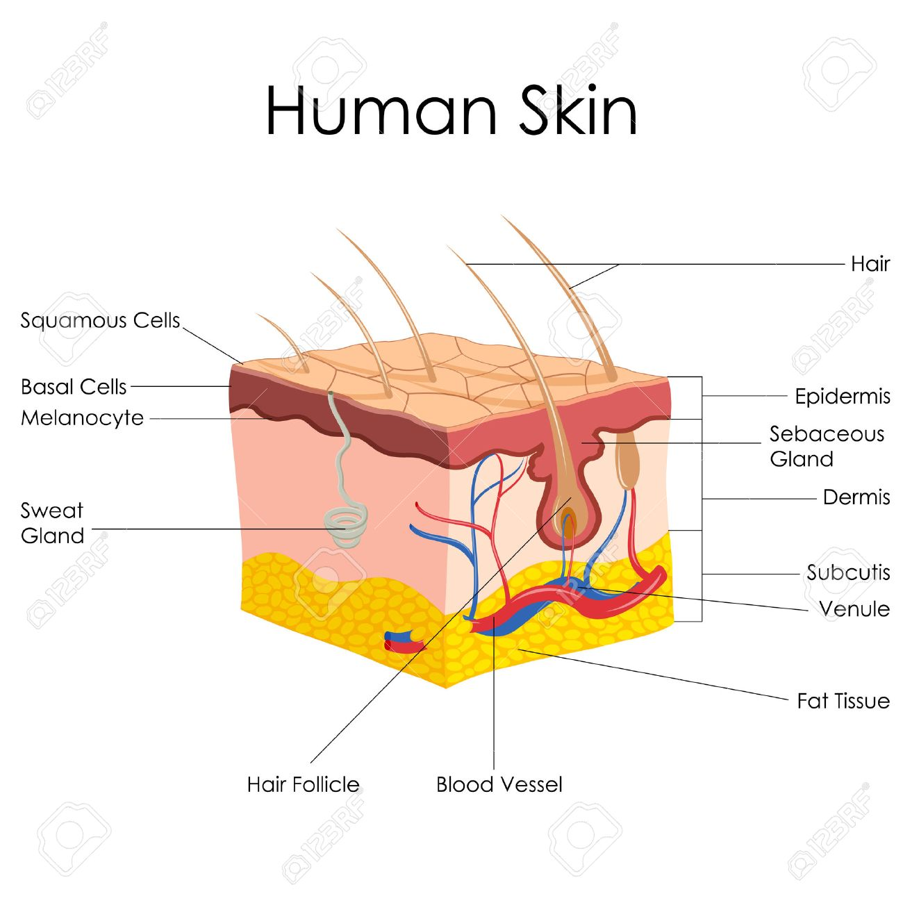 Vector Illustration Of Diagram Of Human Skin Anatomy Stock Photo ...