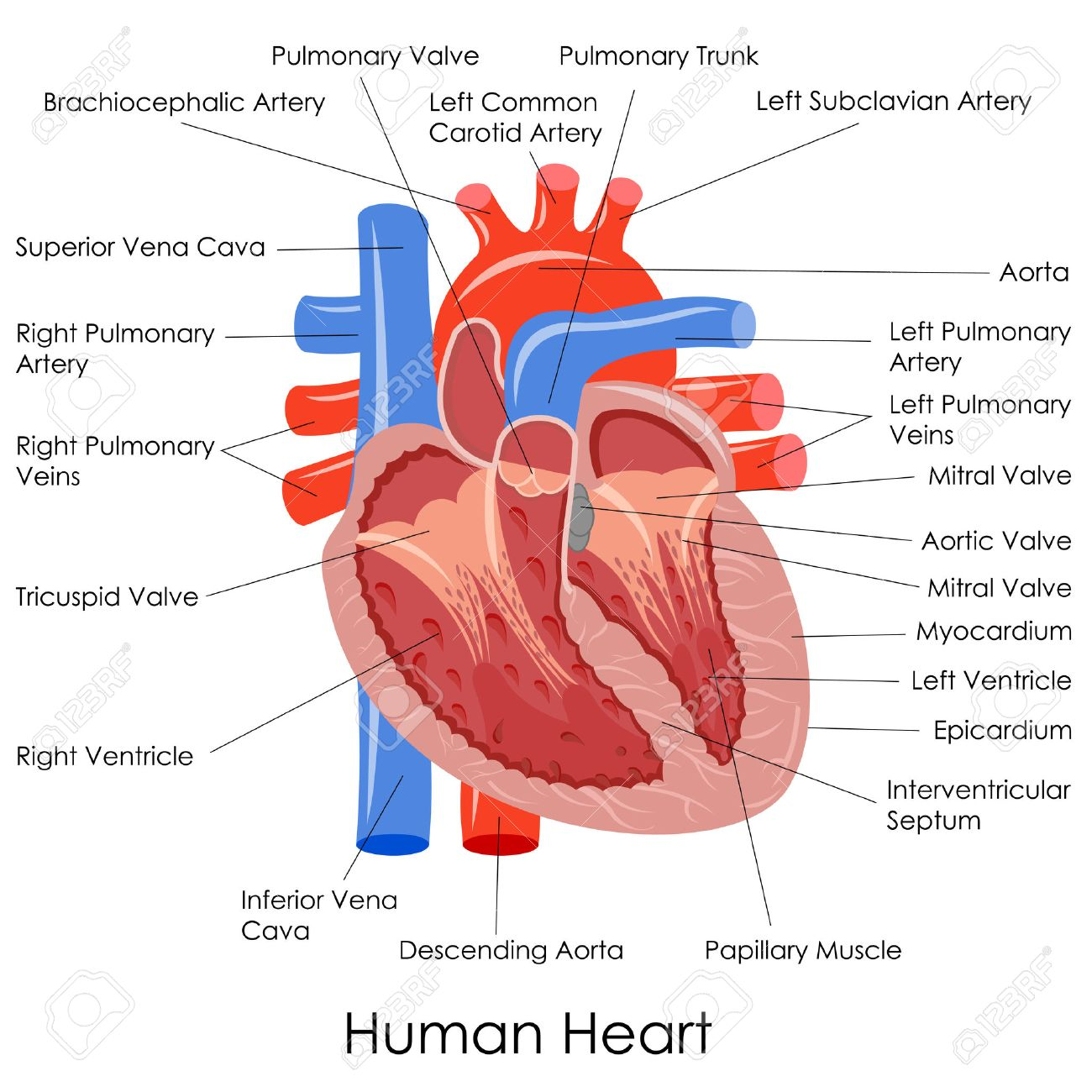 Vector Illustration Of Diagram Of Human Heart Anatomy Stock Photo ...